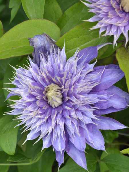 Die markante Blüte der Clematis 'Multi Blue'