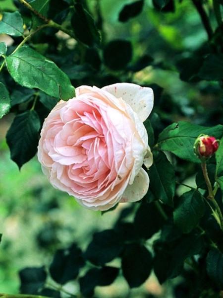 Blüte der Rose Heritage