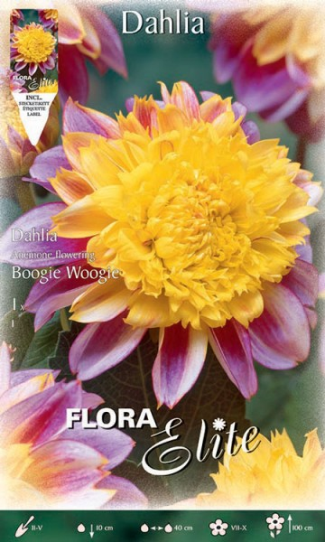 Anemonenblütige Dahlie 'Boogie Woogie', Dahlia (Art. Nr. 520635)