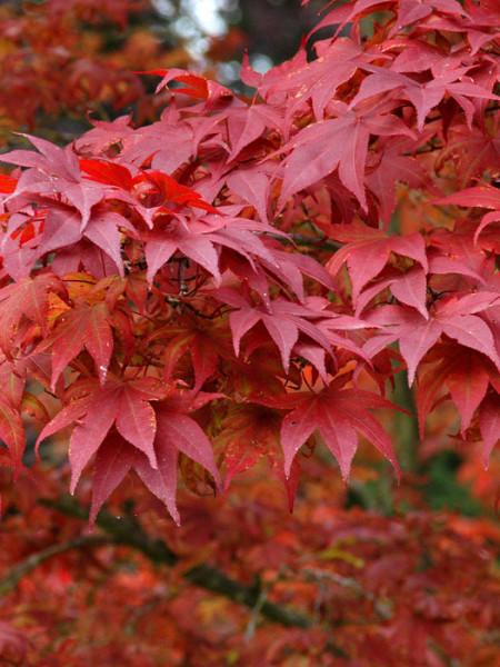 Laub des rotblättrigen Fächerahorns