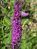 Buddleja davidii 'Royal Red', Sommerflieder