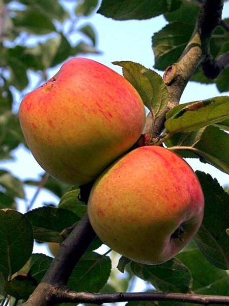 Der Apfel 'Goldparmäne'