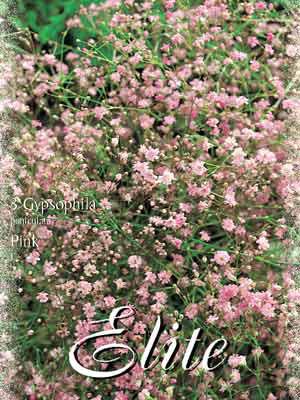 Schleierkraut 'Pink', Gypsophila paniculata (Art.Nr. 521404)