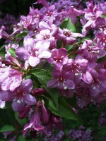Weigela florida, Rosa Weigelie