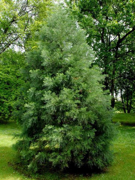Sequoiadendron giganteum als Jungbaum