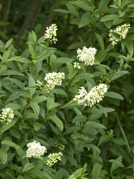 Ligustrum vulgare, Gemeiner Liguster