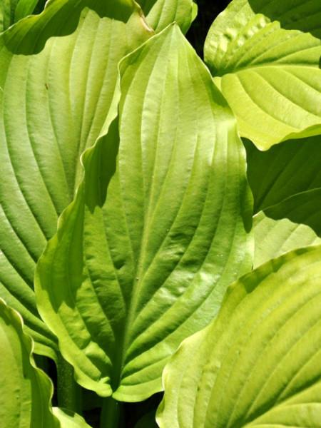 Hosta plantaginea 'Royal Standard', Lilien-Funkie, Herzblatt-Lilie