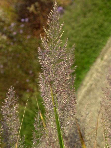 Calamagrostis arundinacea var. brachytricha (M), Diamantgras, grau-rosa Lampenputzer