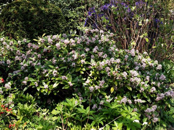 Japanische Blütenskimmie Schatten