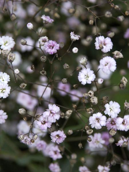 Gypsophila repens 'Rosenschleier', Zwergschleierkraut, Polster-Schleierkraut