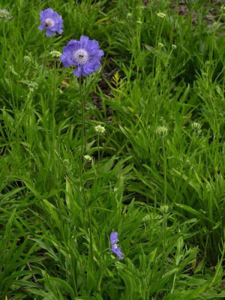 Scabiosa caucasica 'Stäfa', Blaue Scabiose, Blaue Witwenblume