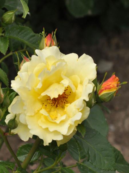 Blüte der Rose Lichtkönigin Lucia