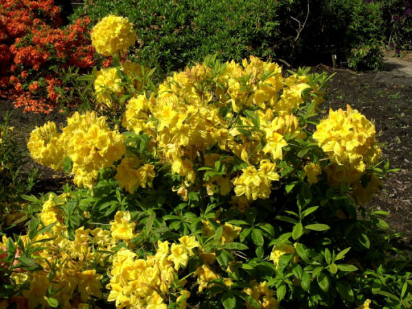 Rhododendron luteum 'Golden Sunset', sommergrüne japanische Gartenazalee