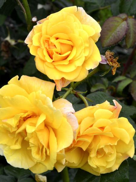 Blüte der Rose Postillion