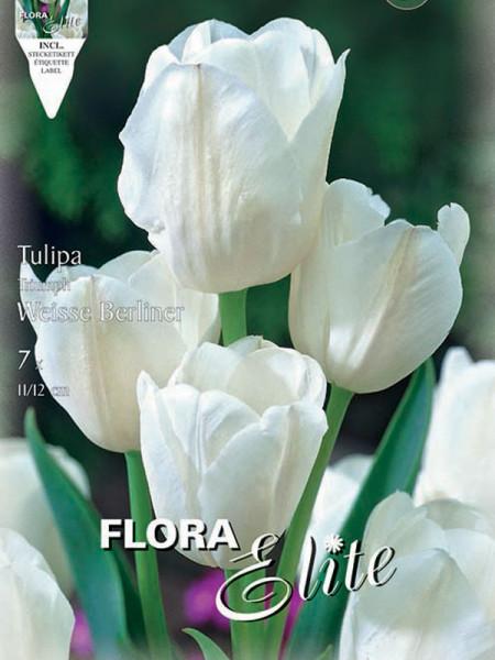 Tulpe Weisse Berliner