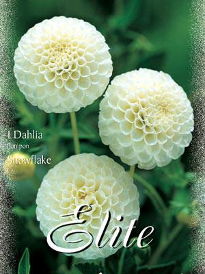 Pompon-Dahlie 'Snowflake', Dahlia (Art.Nr. 520458)