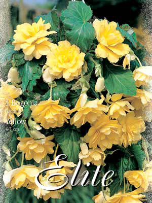 Hänge- oder Ampelbegonie 'Yellow', Begonia pendula (Art.Nr. 520882)