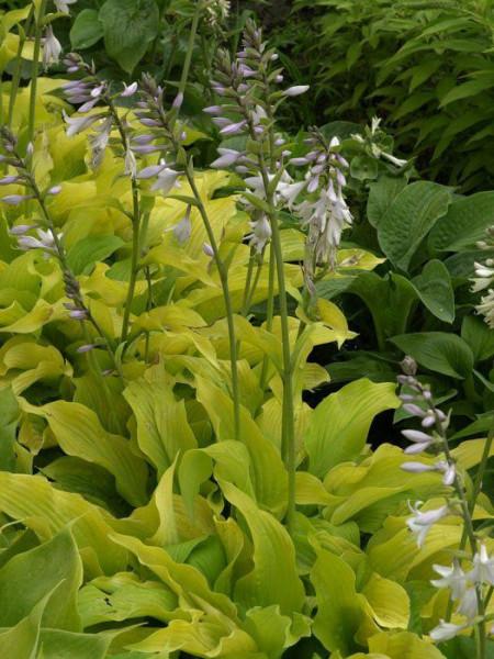 Hosta plantaginea 'Sun Power', Lilien-Funkie, Herzblatt-Lilie