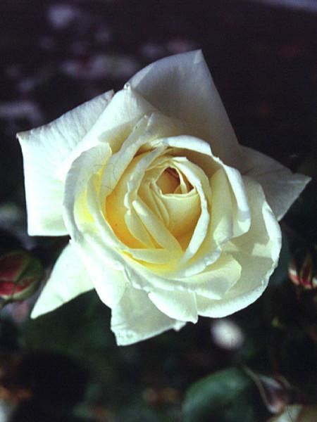 Blüte der Rose Ilse Krohn