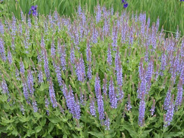 Salvia nemorosa 'Blauhügel' ('Blue Hill') (M), Blauer Steppensalbei
