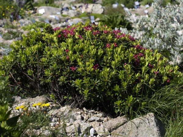 Rhododendron ferrugineum, Heimische Alpenrose