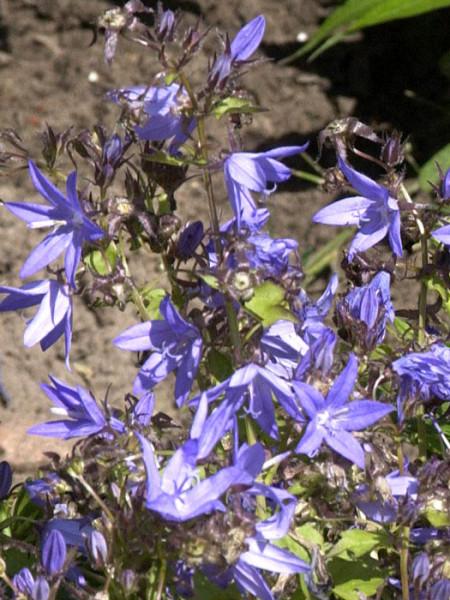 Campanula poscharskyana 'Blauranke' (M), Hängepolster-Glockenblume, Dalmatische Glockenblume