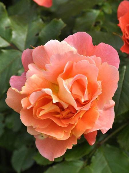 Blüte der Rose Westerland