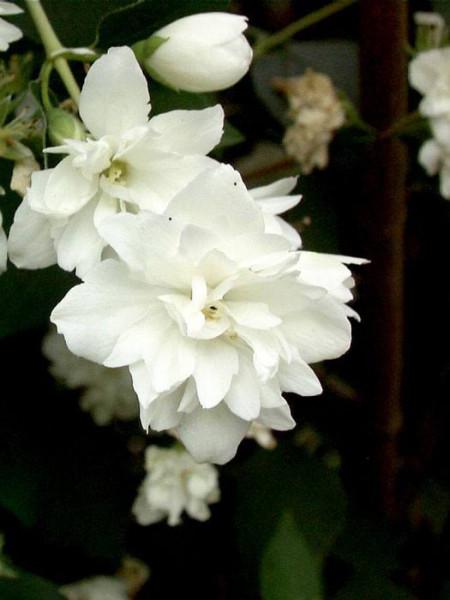 Gefüllter Gartenjasmin Schneesturm Blüte