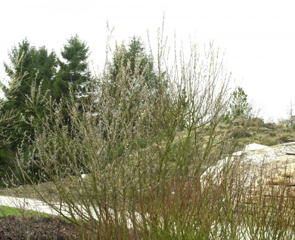 Salix caprea 'Mas', Männliche Kätzchenweide, Palmweide