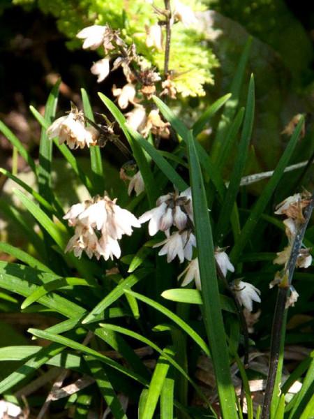 Ophiopogon japonicus 'Minor', Kleiner Schlangenbart, Zwerg-Schlangenbart