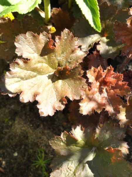 Heuchera x micrantha 'Cappuccino', Purpurglöckchen, Purpurblatt