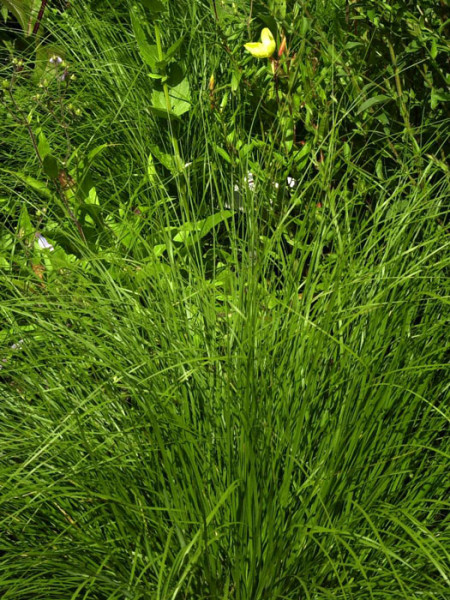 Sporobolus heterolepis 'Cloud' (Syn. 'Duftwolke'), Präriegras, Tautropfen-Gras
