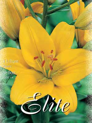 Asiatische Lilien-Hybride 'Yellow', Lilium (Art.Nr. 521688)
