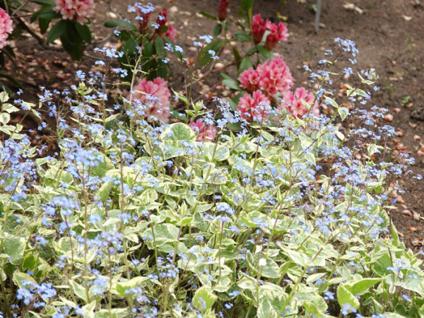 Brunnera macrophylla 'Hadspen Cream', weiß gerandetes Kaukasus-Vergissmeinnicht