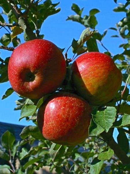 Äpfel Kaiser Wilhelm