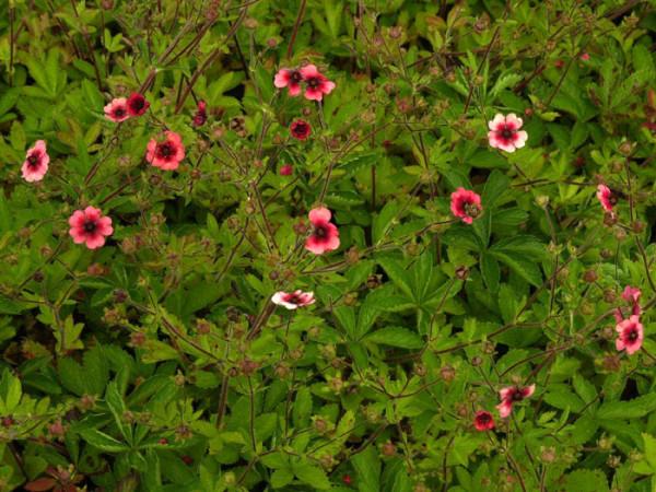 Potentilla nepalensis 'Miss Willmott', Großblütiges Fingerkraut