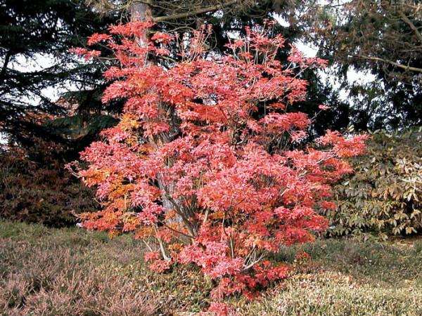 Rote Herbstfärbung