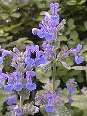 Katzenminze mit blauen Zungenblüten
