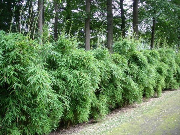 Fargesia murielae 'Chinese Wall' (S), Schirm-Bambus, Hecken-Bambus