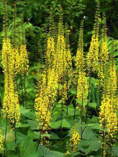 Ligularia stenocephala 'Little Rocket', Japanischer Goldkolben, Kerzen-Goldkolben, Kreuzkraut
