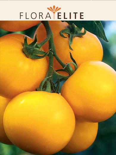 Tomate 'Goldene Königin' (Art.Nr. 21545)