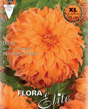 Schmuck-Dahlie 'Moonlight Sonata', Dahlia (Art.Nr. 520173)