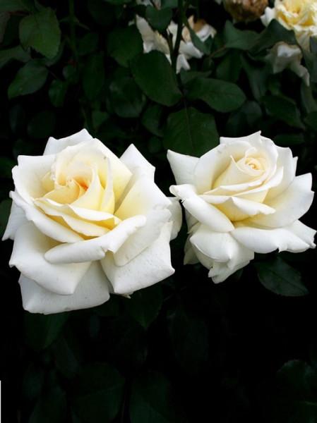 Blüte der Rose Ambiente