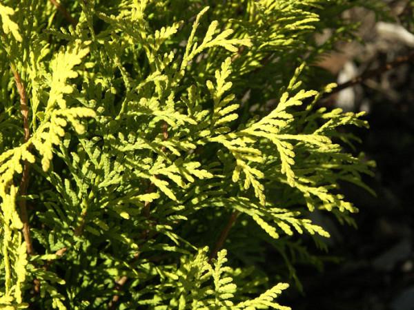 Nadeln Lebensbaum Sunkist