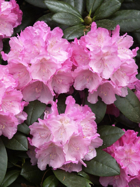 Rhododendron yak. 'Polaris' INKARHO®