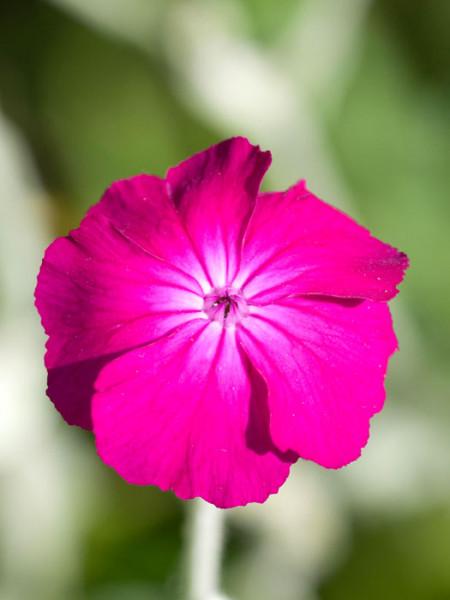 Lychnis (syn. Silene) coronaria, Himalaya-Lichtnelke, Kronen-Lichtnelke, Samtnelke