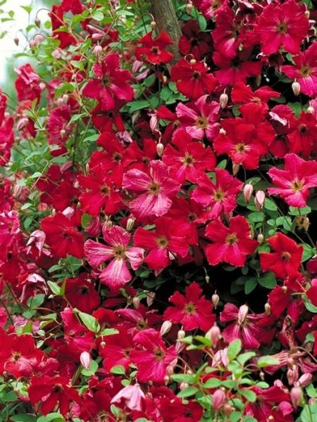Das rote Blütenmeer der Clematis 'Rubra'
