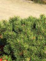 Pinus mugo pumilio, Zwerg-Latsche