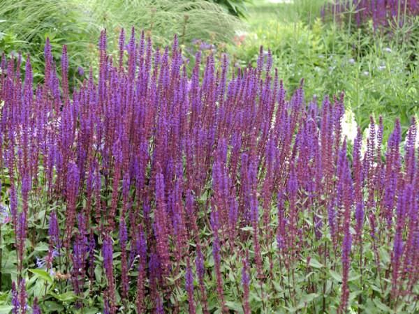 Salvia nemorosa 'Caradonna', Steppensalbei