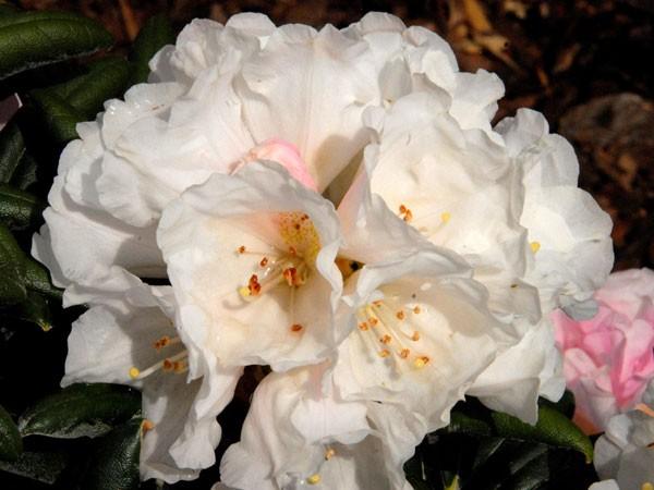 Rhododendron Koichiro Wada